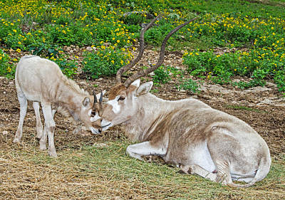Photograph - Addax Adult And Juvenile by Millard H. Sharp