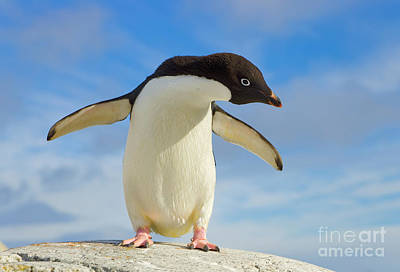 Photograph - Adelie Penguin Flapping Wings Antarctica by Yva Momatiuk John Eastcott