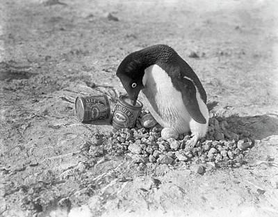 Adelie Penguin Nest In Antarctica Art Print