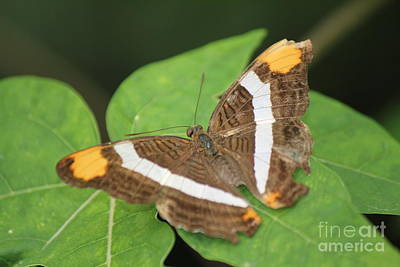 Photograph - Adelpha Butterfly by David Grant