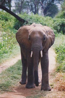 Photograph - Adolescent Elephant by Belinda Greb