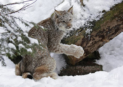 Adorable Baby Lynx In A Snowy Forest Art Print by Inspired Nature Photography Fine Art Photography