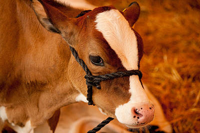 Photograph - Adorable Calf by Kristia Adams