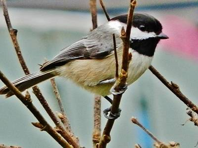 Photograph - Adorable Chickadee by VLee Watson