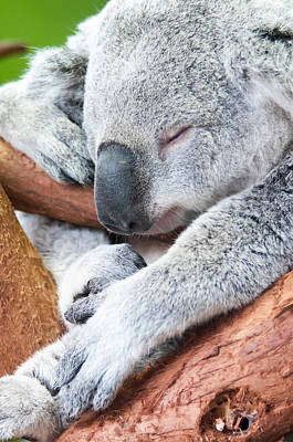 Photograph - Adorable Koala Bear Taking A Nap Sleeping by Alex Grichenko