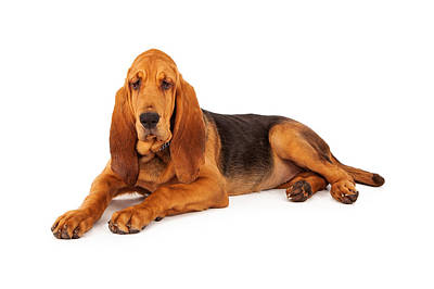 Adorable Large Bloodhound Puppy Art Print by Susan Schmitz