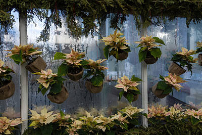 Photograph - Adorable Miniature Poinsettias Window Display by Georgia Mizuleva