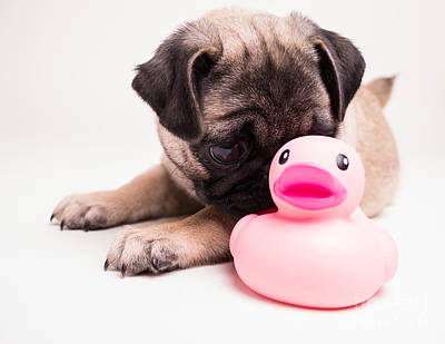 Pug Wall Art - Photograph - Adorable Pug Puppy With Pink Rubber Ducky by Edward Fielding