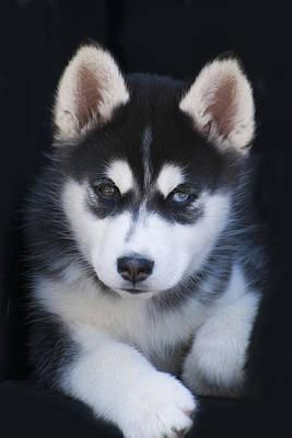 Adorable Siberian Husky Sled Dog Puppy Art Print by Kathy Clark