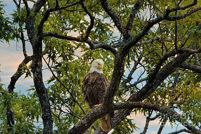 Photograph - Adult Bald Eagle In A Tree by Jai Johnson