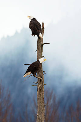 Eagle Photograph - Adult Bald Eagles  Haliaeetus by Doug Lindstrand