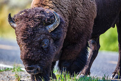 Buffalo Photograph - Adult Bison Staring by Andres Leon