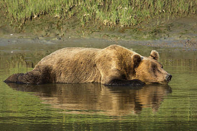 Adult Coastal Grizzly Bear (ursus Arctos Art Print