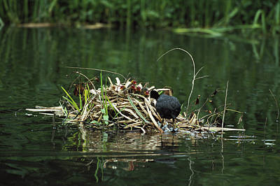 Coot Wall Art - Photograph - Adult Coot Feeding Chicks by Leslie J Borg/science Photo Library