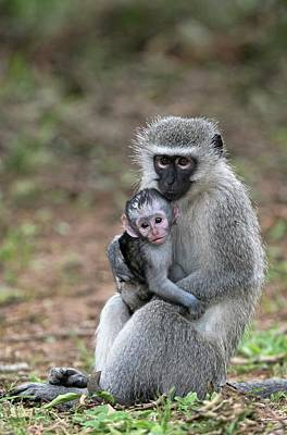 Adult Female Vervet Monkey With Young Art Print by Tony Camacho