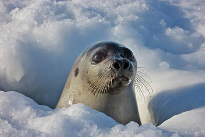 Madeleine Photograph - Adult Harp Seal Raising Head by Keren Su