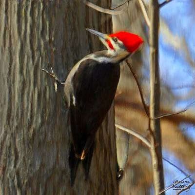 Adult Male Pileated Woodpecker Art Print by Bruce Nutting