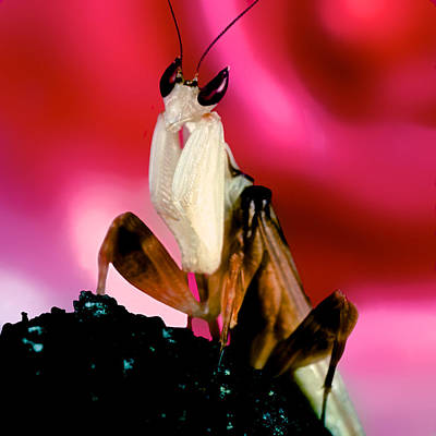 Adult Orchid Male Mantis Original by Leslie Crotty