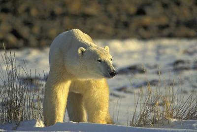 Photograph - Adult Polar Bear by Randy Green