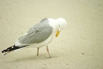 Art Print featuring the photograph Adult Seagull Preening by Suzanne Powers