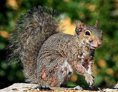 Photograph - Advanced Squirrel Pox by Ira Runyan