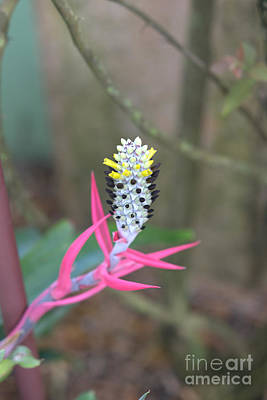 Photograph - Aechmea Maculata  by Liane Wright