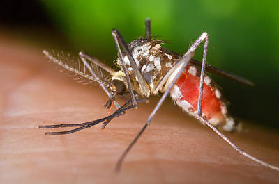 Photograph - Aedes Triseriatus Mosquito, West Nile by Science Source