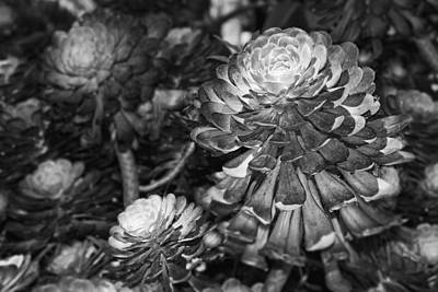 Aeonium Photograph - Aeonium Black And White by Kelley King