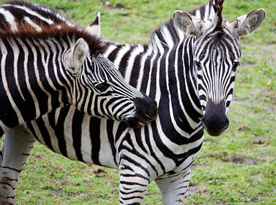 Photograph - Affectionate Zebras by Nicholas Blackwell
