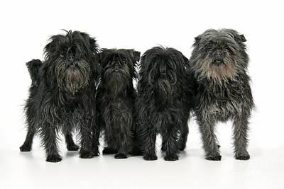 Affenpinscher Photograph - Affenpinscher Dogs by John Daniels