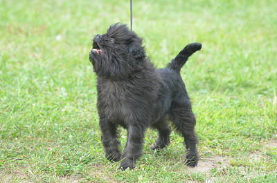 Affenpinscher Photograph - Affenpinscher Puppy by DejaVu Designs