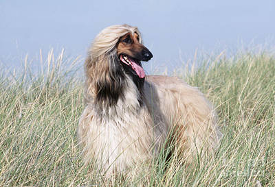Sighthound Photograph - Afghan Hound by John Daniels