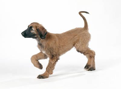Afghan Hound Puppy Print by John Daniels