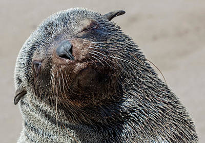 Fur Seal Photograph - Africa, Namibia, Cape Cross by Jaynes Gallery