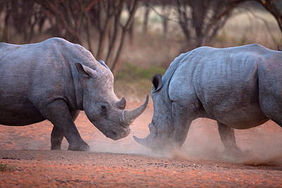 Rhinoceros Photograph - Africa, Namibia White Rhinos Fighting by Jaynes Gallery