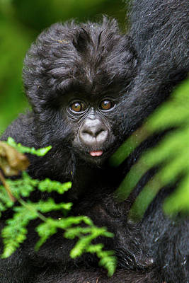 Silverback Photograph - Africa, Rwanda, Female And Juvenile by Ralph H. Bendjebar