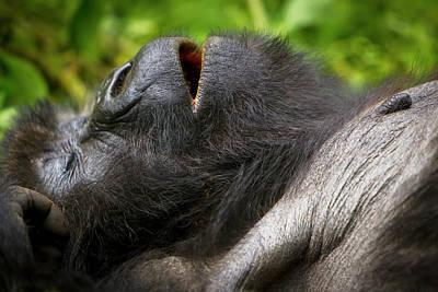 Silverback Photograph - Africa, Rwanda, Juvenile Mountain by Ralph H. Bendjebar
