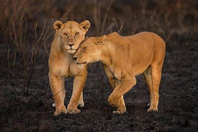 Africa Tanzania African Lions (panthera Art Print