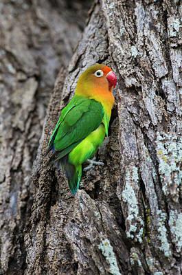 Lovebird Photograph - Africa Tanzania Fischer's Lovebird by Ralph H. Bendjebar
