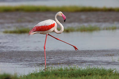 Africa Tanzania Greater Flamingo Art Print