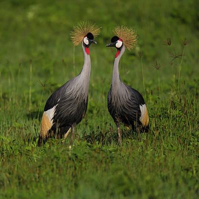Africa Tanzania Grey Crowned Cranes Art Print