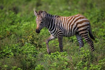 Africa Tanzania Zebra (equus Quagga Art Print
