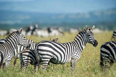 Wildlife Photograph - Africa, Tanzania, Zebras by Lee Klopfer