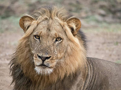Africa, Zambia Alert Adult Lion Credit Art Print