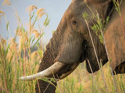 Africa, Zambia Close-up Of Elephant Art Print