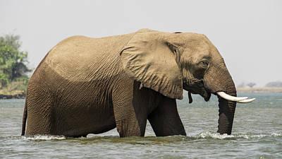 Africa, Zambia Elephant In Zambezi Art Print