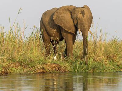 Africa, Zambia Elephant Next To Zambezi Art Print