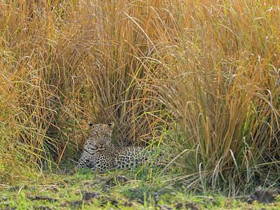 Africa, Zambia Leopard Resting In Grass Art Print