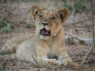 Africa, Zambia Portrait Of Lion Cub Art Print