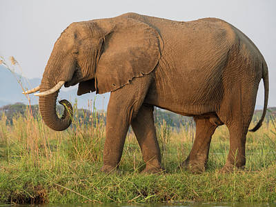 Africa, Zambia Side View Of Elephant Art Print